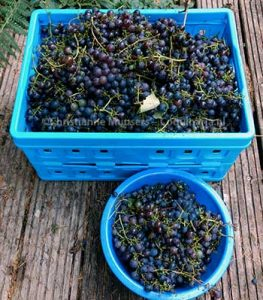 Blauwe druiven, oogst 2018